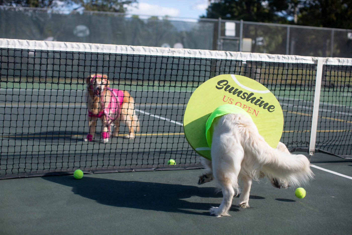 best dog halloween costume | sunshine the golden retriever