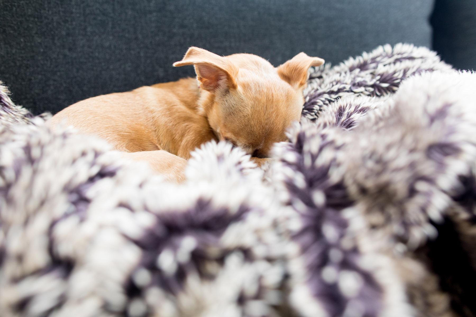Dolly, RaeLynn's Chihuahua | © Sara Kauss Photography 2020